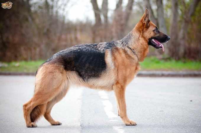 A German Shepherd