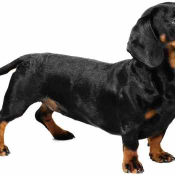 A Picture Of A Dachshund