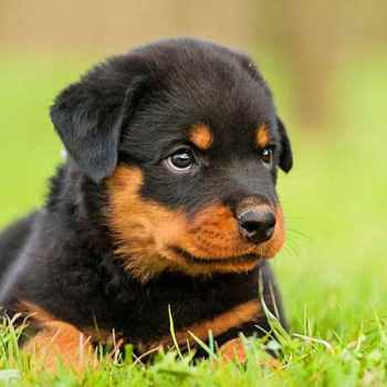 A Picture Of A Rottweiler