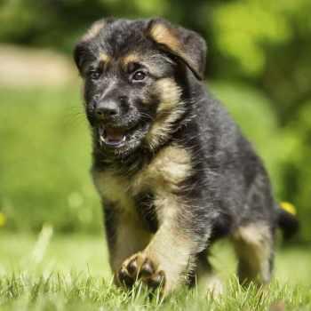 A Puppy German Shepherd