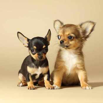 About Chihuahua Puppies