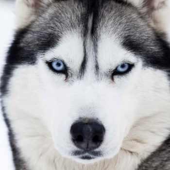 About Husky Dogs