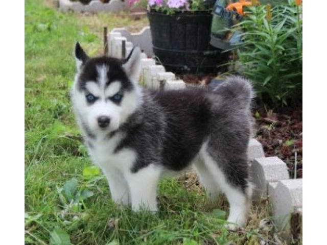 Adopt A Baby Husky For Free