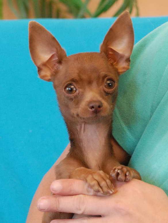 Adopt A Chihuahua Puppy
