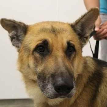 Adopt A German Shepherd Police Dog