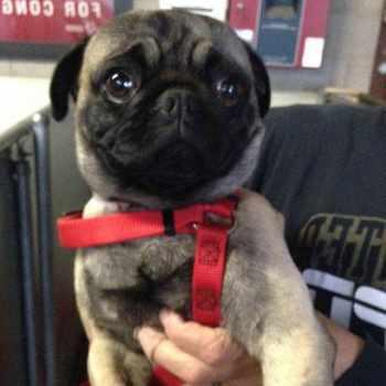 Adopt A Pug Los Angeles