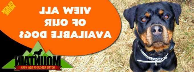 Adopt A Rottweiler Ny