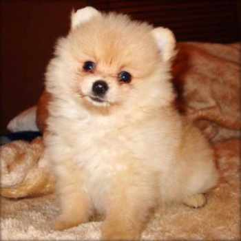 Adopt A Teacup Pomeranian For Free