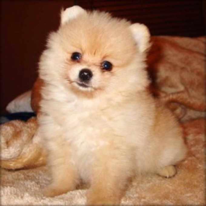 Adopt A Teacup Pomeranian For Free