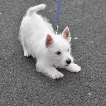 Adopt A West Highland Terrier