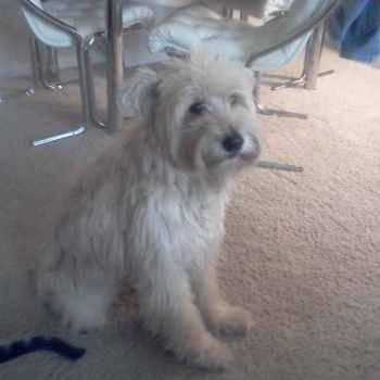 Adopt A Wheaten Terrier