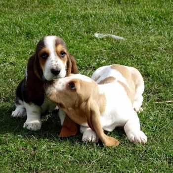 Adopt Basset Hound Puppies