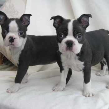 Adopt Boston Terrier Puppies