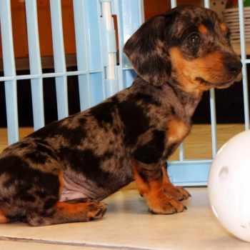 Adopt Dachshund Puppies