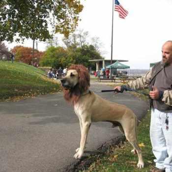 Adopt Great Dane Puppies