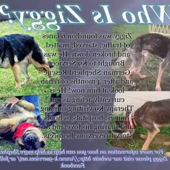 Adopt K9 German Shepherd