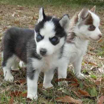 Adopt Miniature Husky