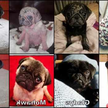 Adopt Pug Puppy