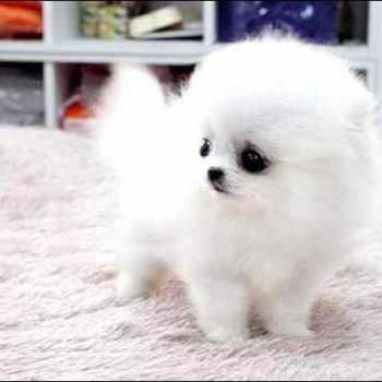 Adopt Teacup Pomeranian