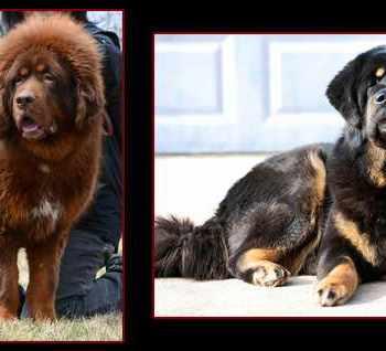 Adopt Tibetan Mastiff