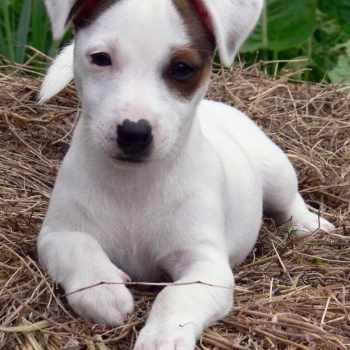 Adopting A Jack Russell