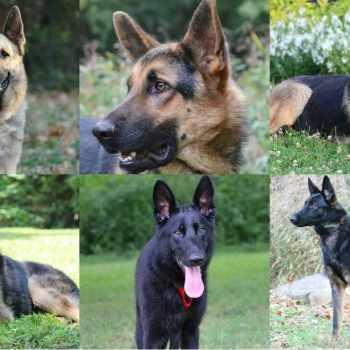 Adoption German Shepherd Dogs