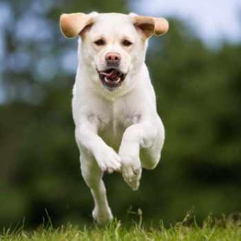 Aggressive Labrador