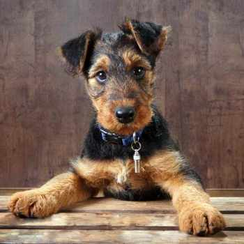 Airedale Terrier For Adoption
