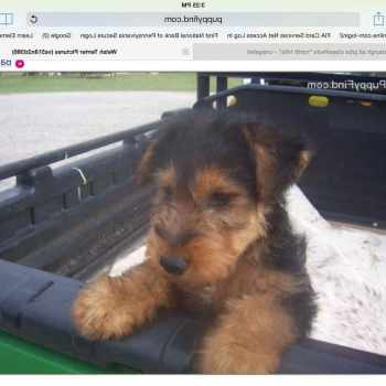 Airedale Terrier For Sale Craigslist
