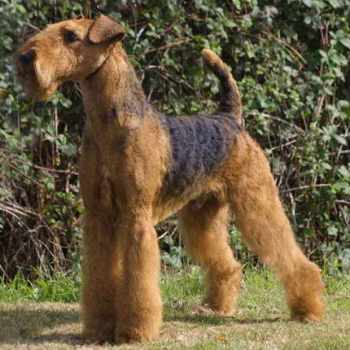 Airedale Terrier For Sale In California