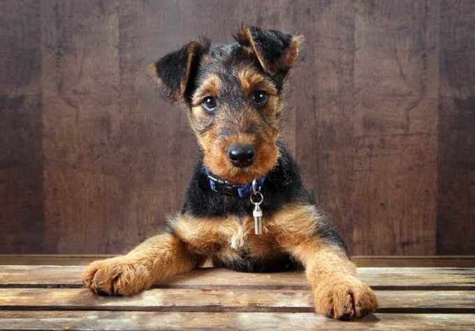 Airedale Terrier For Sale Near Me