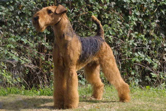 Airedale Terrier For Sale Texas