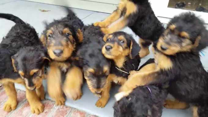Airedale Terrier Puppies Cost