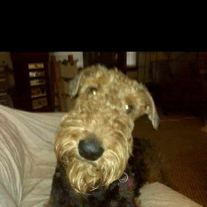 Airedale Terrier Rescue Va