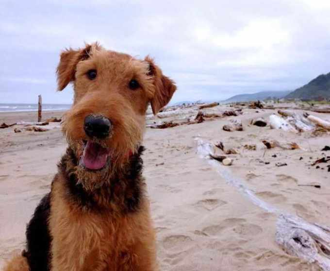 Airedale Terrier Seattle