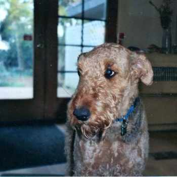 Airedale Terrier Wisconsin