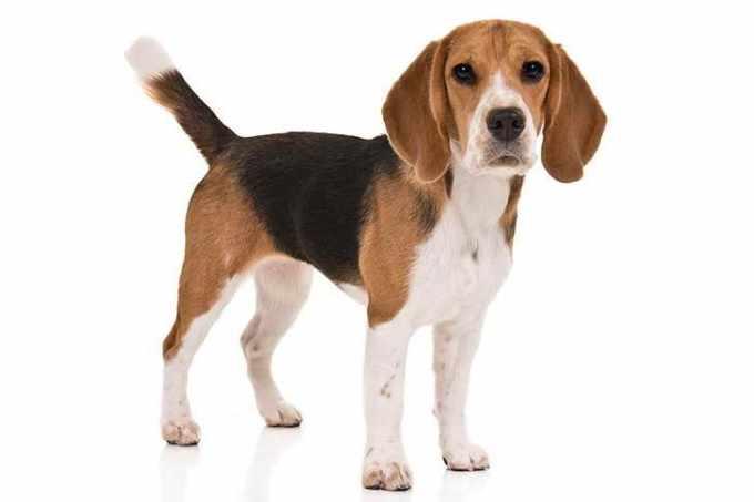 Akc Beagle Classifieds