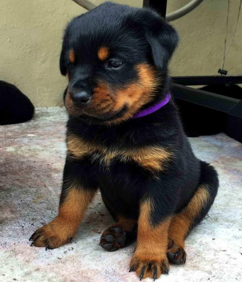 Buy Rottweiler Puppies For Sale In Czechia