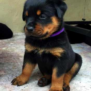 Akc German Rottweiler Puppies For Sale