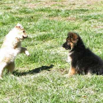 Akc German Shepherd Puppies For Sale In Nc