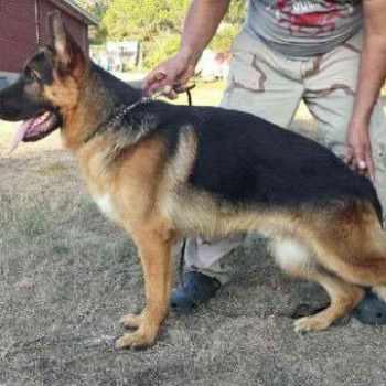 Akc German Shepherd Puppies Texas