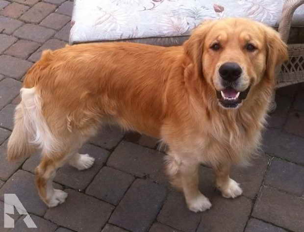 Akc Golden Retriever Puppies For Sale