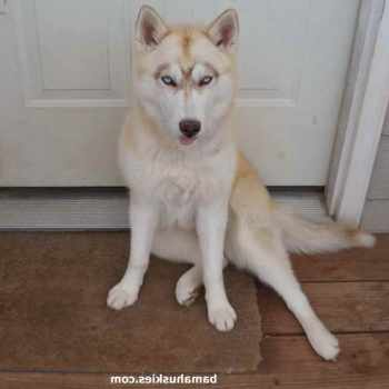 Akc Husky Puppies For Sale