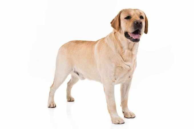 Akc Labrador