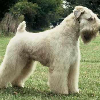 Akc Soft Coated Wheaten Terrier