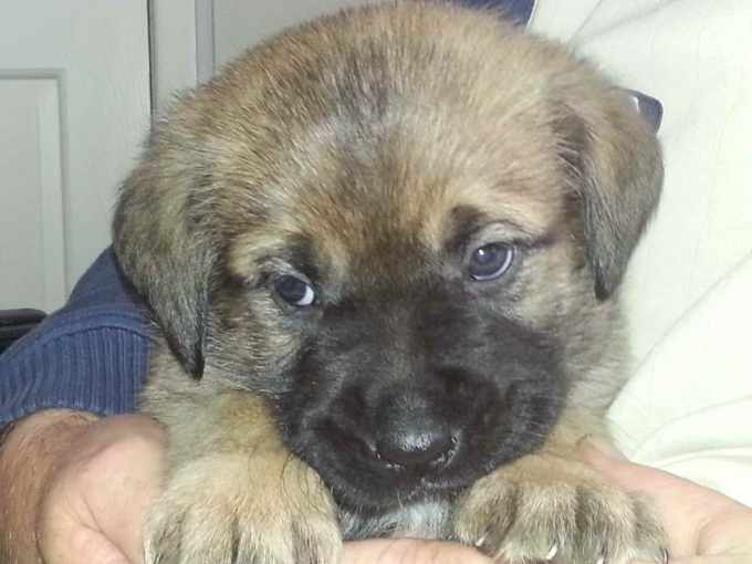 Akita Cross Rottweiler Puppies For Sale