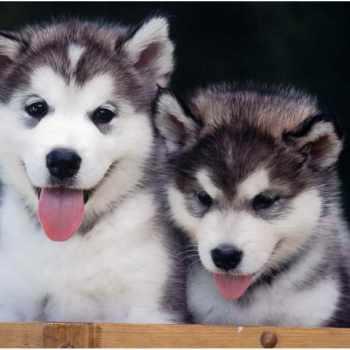 Alaskan Husky Breeders
