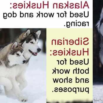 Alaskan Husky Or Siberian Husky