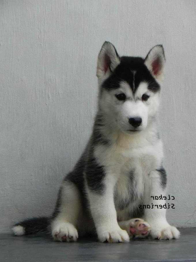 Alaskan Husky Price