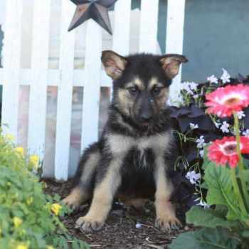 Alaskan Malamute German Shepherd Mix For Sale